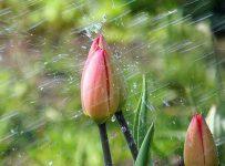 тюльпан под дождем